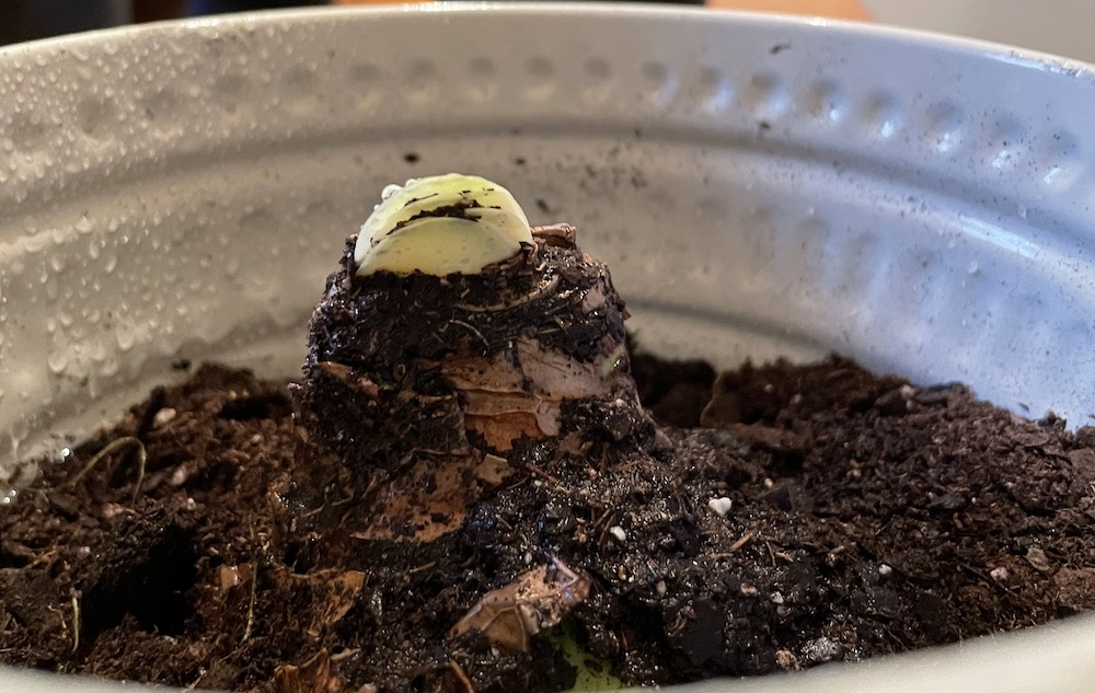 amaryllis sprout