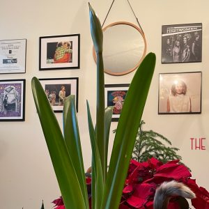 a picture of phyllis the amaryllis looking super phallic